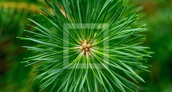 polyprenols, pine needle tea, antioxodant, membrane protective, taiga