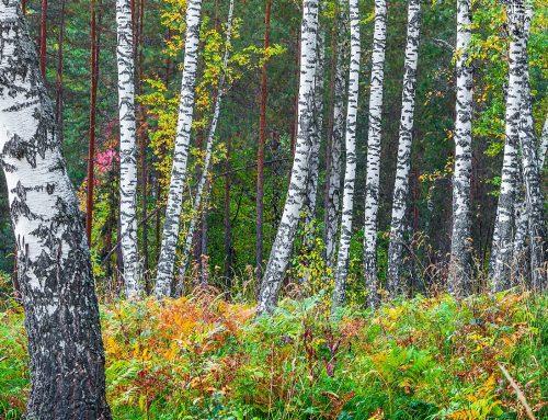 Betulin from Birch Bark: Powerful Cellular Protection